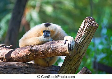 Lar Gibbon - White Cheeked Lar Gibbon sitting sadly on the...