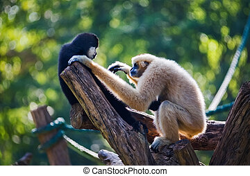 Lar Gibbon - Baby white cheeked gibbon or Lar gibbon with...