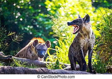 Spotted hyena Crocuta crocuta