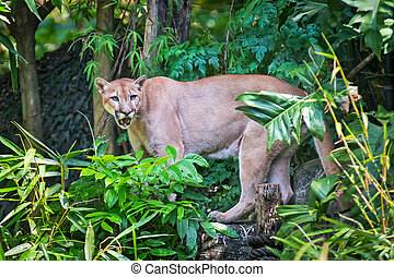 Puma - Mountain lion; puma prey on the staring twigs of the...
