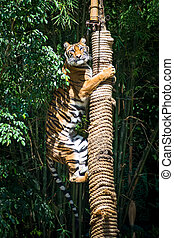 Tiger - Training young Tiger up trees