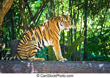 Tiger sitting on a log in a zoo.
