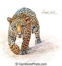 Leopard, Baby Leopard was walking toward the victim.