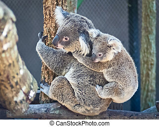Koala bear - Koala baby perch on mother rear. Thailand Zoo