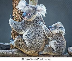 Koala bear - Thailand koala bear with her baby at the zoo.