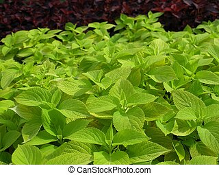 Coleus Nettle plant - Coleus (Lamiaceae) plant aka Painted...