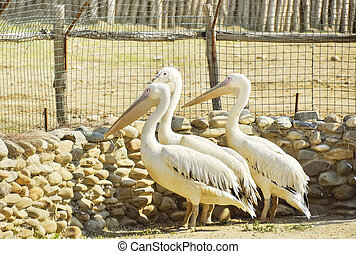Pelicans in a zoo on open air - Great white pelicans in a...