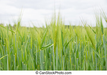 Grain field - Barley field with young plants