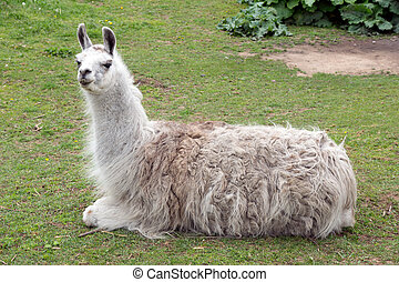 Lama in an enclosure