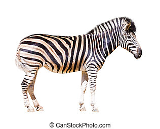 full length of zebra Isolated over white background