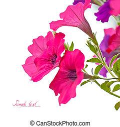 Petunia - Close-up Pink petunia flowers