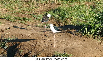 Black-winged Stilt birds near lake