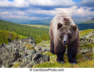 Brown bear in wildness area