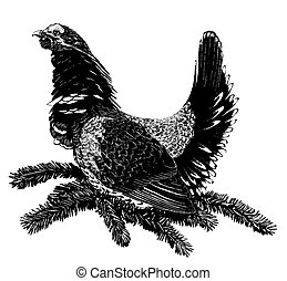 Spruce Grouse - male Falcipennis canadensis Scratchboard...