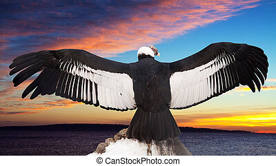 Andean condor against sunset sky background - Andean condor...