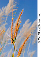 Pampas Grass Flowers and sky image on stock photo