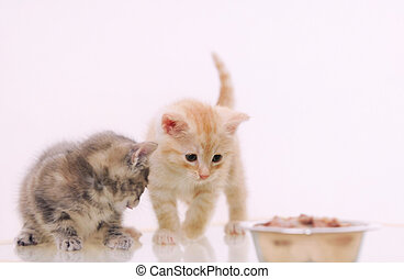 one of two adorable furry kitten observing cat food from the bow