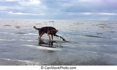 Dog playing with a stick in water - Dog playing with a stick...