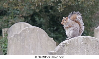 A brown squirrel on top of a tombstone. Scratching its hand...