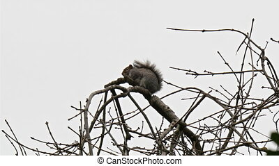 A squirell on the top of the branch of a tree