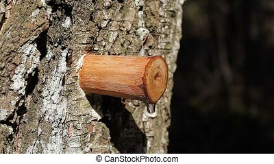 Drip of birch sap in early spring in forest