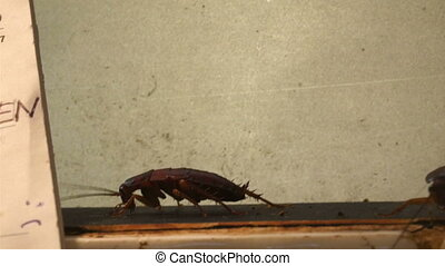 Three dirty cockroaches crawling on the wall