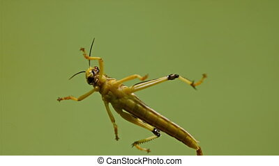 A grasshopper on a water swimming