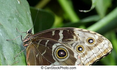 Brown with black spots butterfly is stuck on a green leaf...