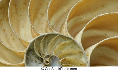 A white clam preserved for the museum. It has circular...