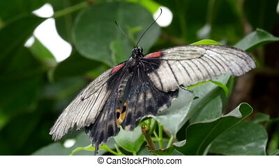 Black and white butterfly with wings wide open sticking on...