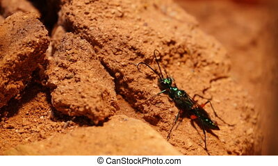 An emerald cockroach wasp crawling into a rotten wood The...