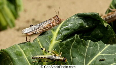Two brown grasshoppers are eating the leaf - Two brown...