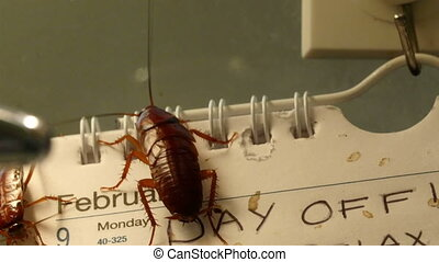 Disgusting brown shiny cockroaches crawling on the calendar