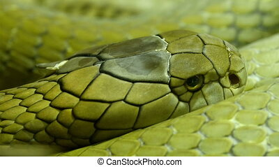 Green and shiny scales of the king cobra curling up on the...
