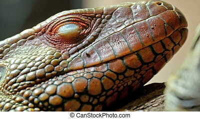 Closer look of the red pinkins scaly head of the lizard