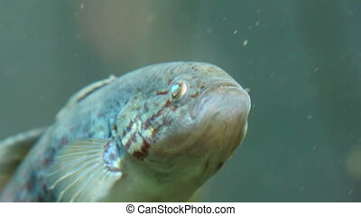 A white silver fish on the water Its fins are waving the...