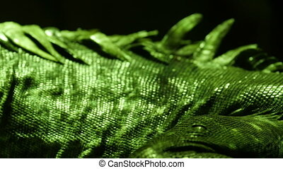 Scaly green and shiny skin of the Utila iguana with spiny...