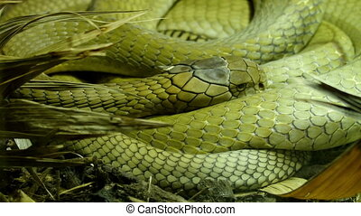 A green big king cobra curling up on a grass. The king cobra...
