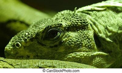 Black round eyes of the Utila spiny-tailed iguana. The Utila...