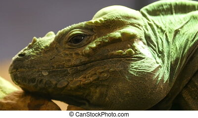 The closer look of the head of the Rhinoceros iguana. It has...