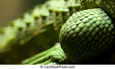 Scales and sharp tail of the green lizard CLoser look of the...