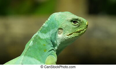 A lizard also known as Fiji Iguana standing on a branch The...