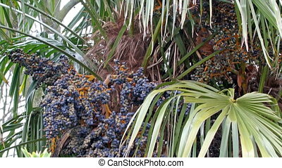 A kind of Jabuticaba plant with grape like fruits. It is is...