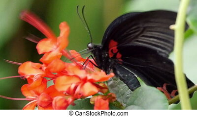 Black butterfly on top of an orange flower. The butterfly...