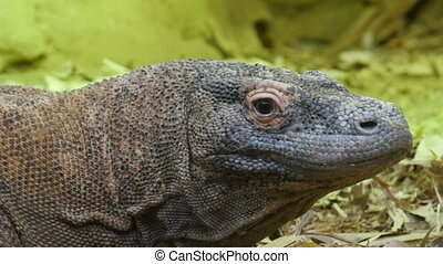 Big puffed head brown lizard This could be a family of a...