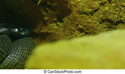 A green shiny scaled skin snake on a rock. The snake is...