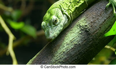 A green Fiji Iguana hanging on a branch It is one of the...