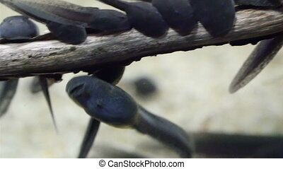 Tiny black tadpoles swimming in the water They have big...