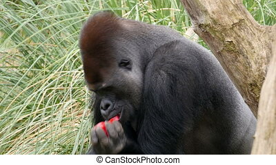A black big gorilla eating a red pepper. He then covers up...
