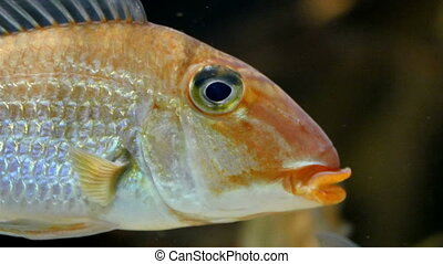 A small gold fish on the water With its fins waving on the...